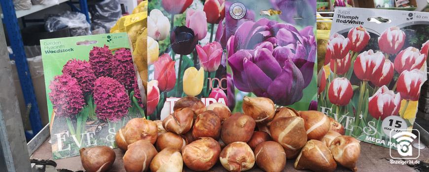 Nix wie hin in Hilden: Was bei Blumenzwiebeln zu beachten ist
