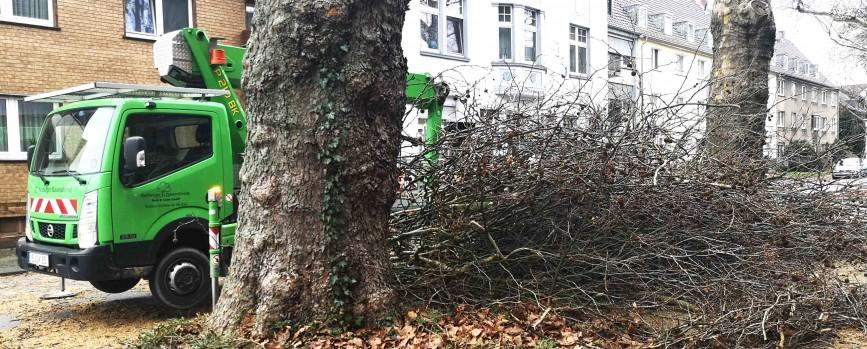 Stadt lässt Platanen auf Hoffeldstraße zurückschneiden