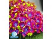 Freiland-Hortensien 'SAXON® Schloss Wackerbarth', 1 Pflanze, Hydrangea macrophylla