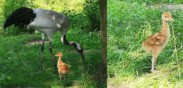 Kraniche im Solinger Tierpark haben Nachwuchs